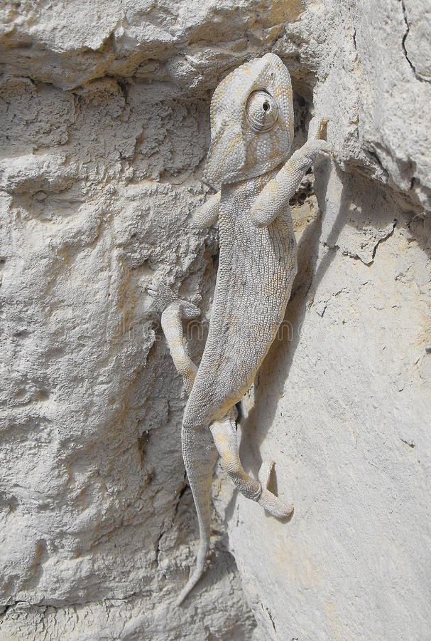 A Chameleon Climbing Stock Image