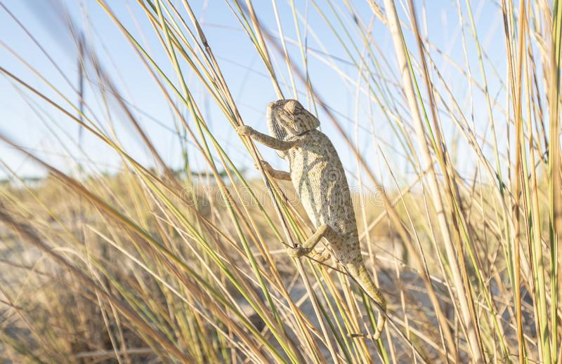 Chameleon climbing branches in a beach area.  royalty free stock photo