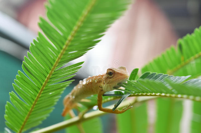 chameleon royalty free stock images