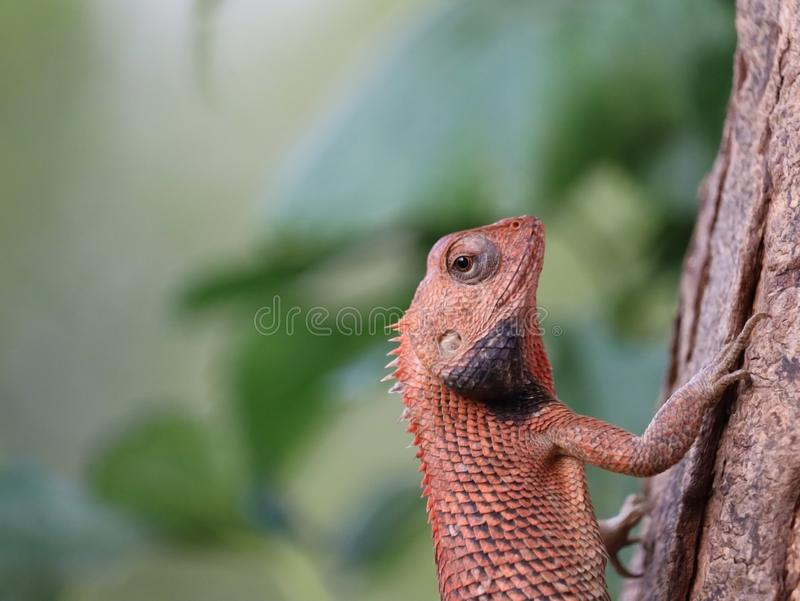 Chameleon image | reptiles and  amphibians. Chameleon is climbing the tree with green blur background . this chameleon is asian reptiles stock images