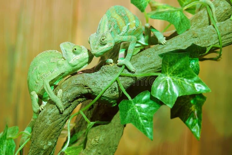 Download Chameleon stock image. Image of wild, reptile, calyptoratus - 79726965