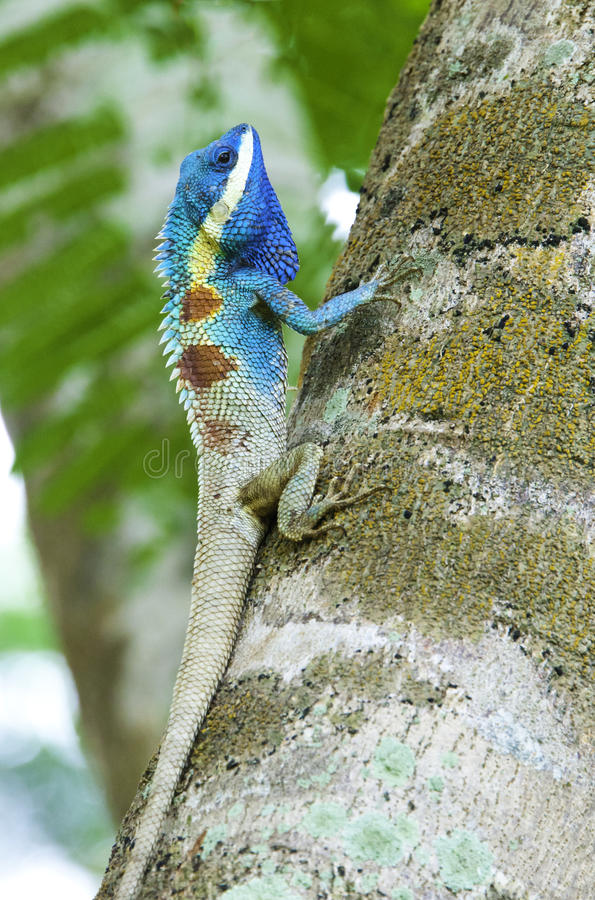 Chameleon colorido fotografia de stock royalty free