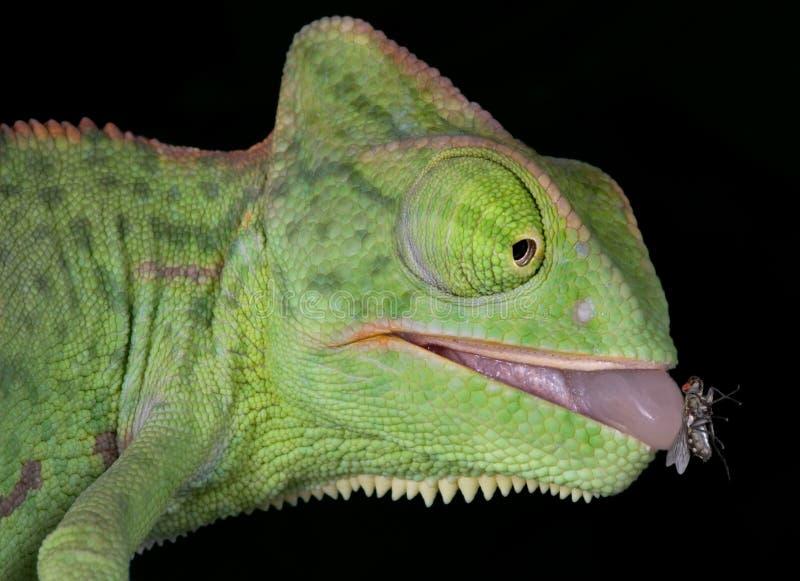 Chameleon com a mosca na lingüeta fotos de stock royalty free