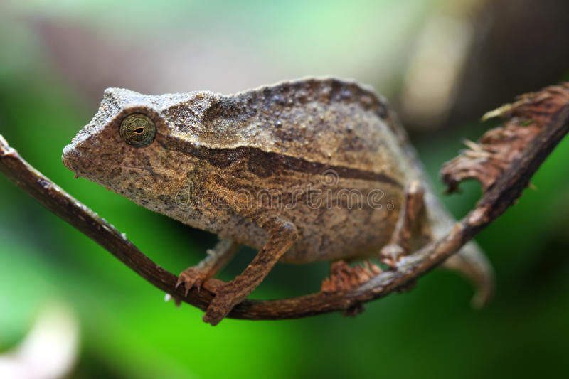 Chameleon da folha do pigmeu foto de stock royalty free