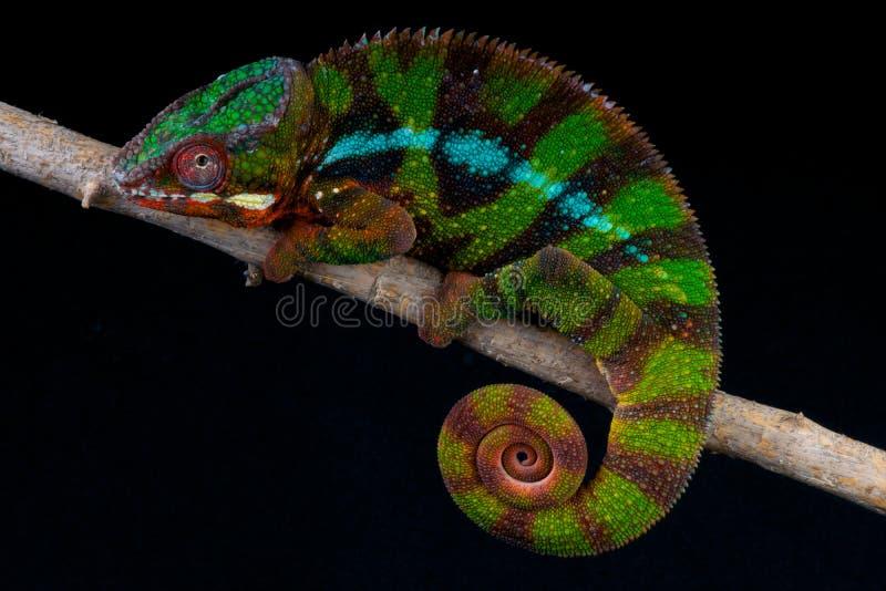 Chameleon da pantera imagens de stock royalty free