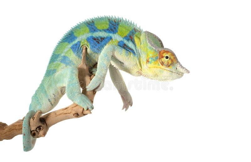Chameleon da pantera de Ambanja fotos de stock