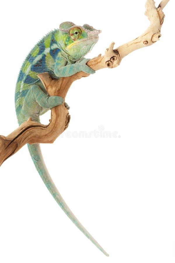 Chameleon da pantera de Ambanja foto de stock