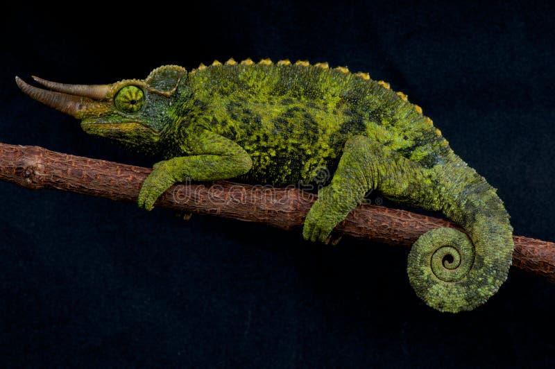 Chameleon de Jackson imagens de stock royalty free