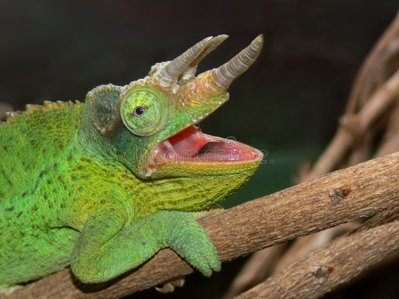Chameleon de um Jackson imagem de stock
