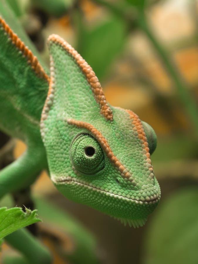 Chameleon de Yemen imagem de stock royalty free