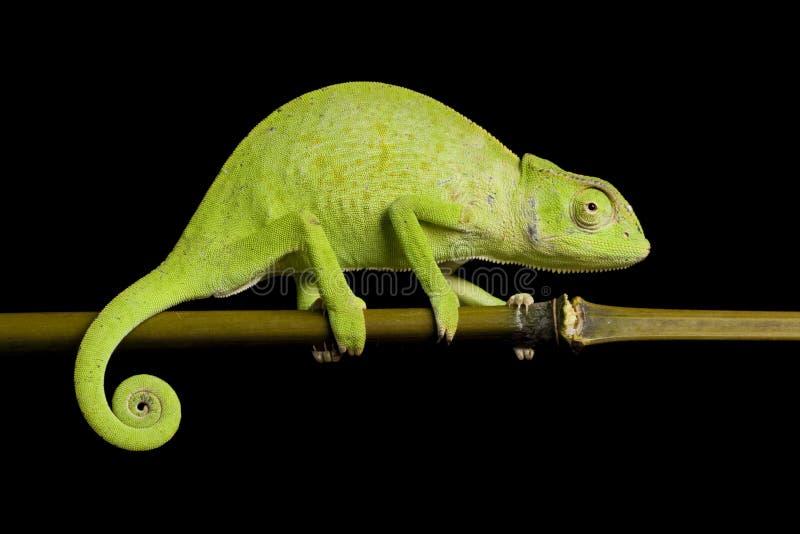 Chameleon del Senegal immagine stock
