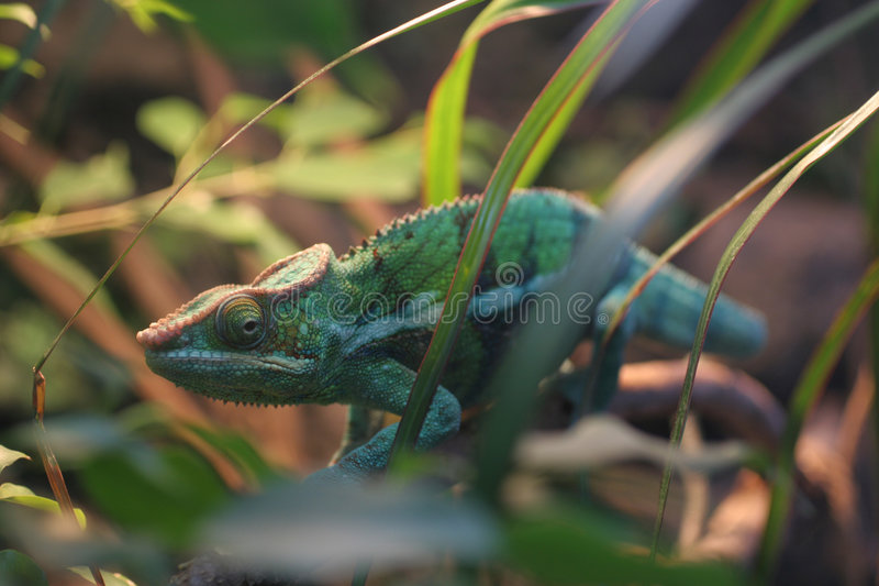 Download Chameleon della pantera fotografia stock. Immagine di nordico - 450278