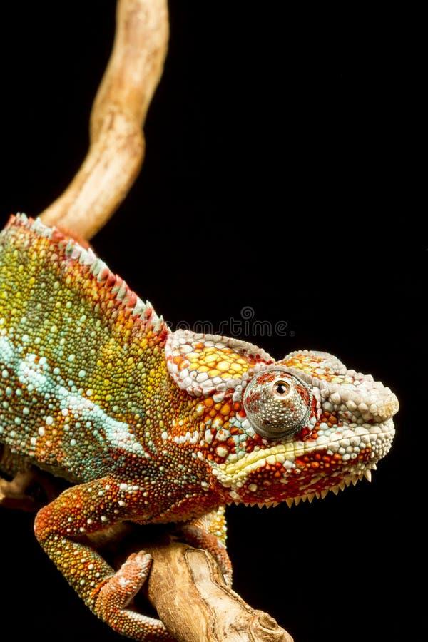 Chameleon della pantera (pardalis di Furcifer) immagini stock libere da diritti