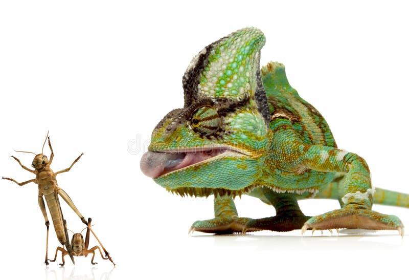 Chameleon e grilli fotografia stock libera da diritti