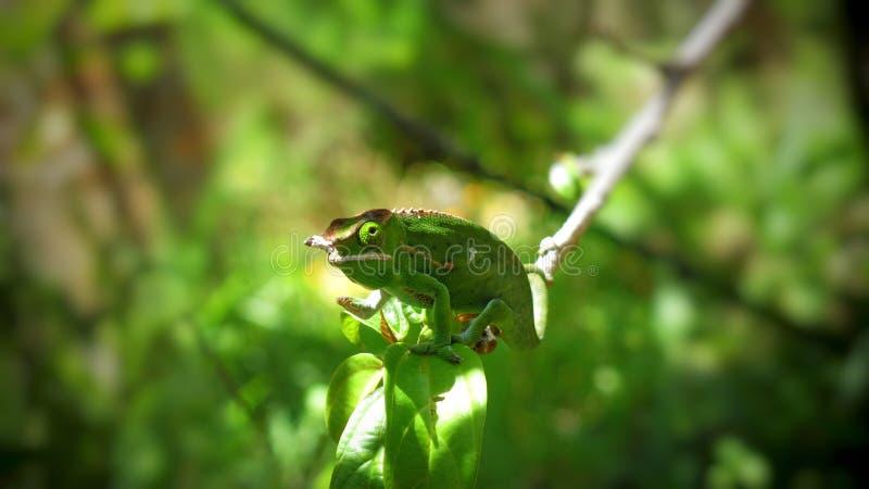 Chameleon en estado salvaje, Madagascar, diciembre de 2018 imagen de archivo