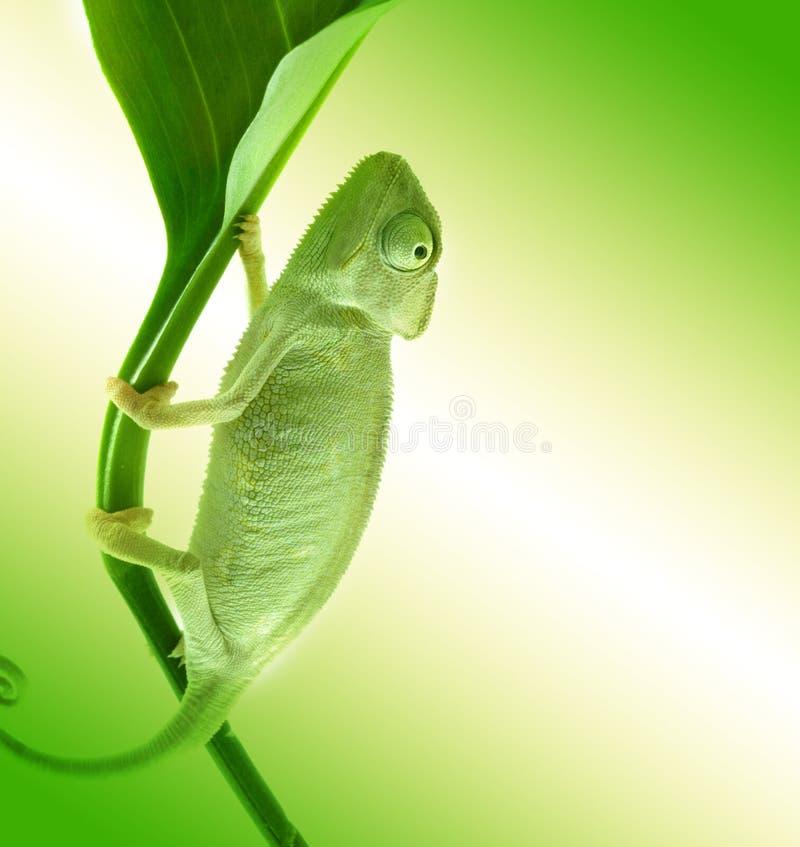Chameleon on flower. royalty free stock photos