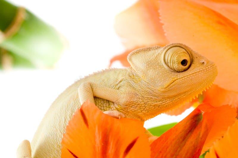 Chameleon on flower stock image