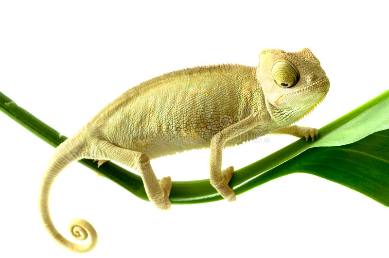 Chameleon on flower. royalty free stock image