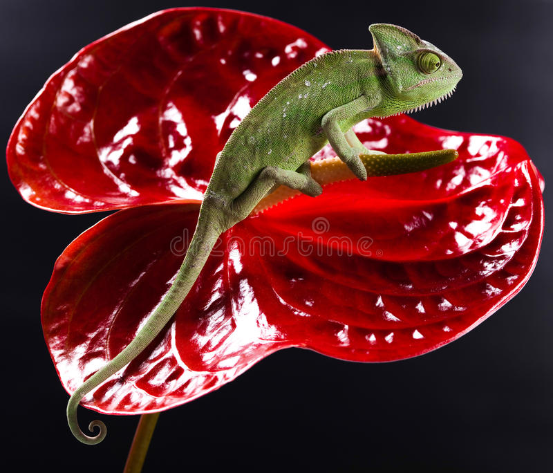 Chameleon and flower, bright vivid exotic climate.  royalty free stock photo