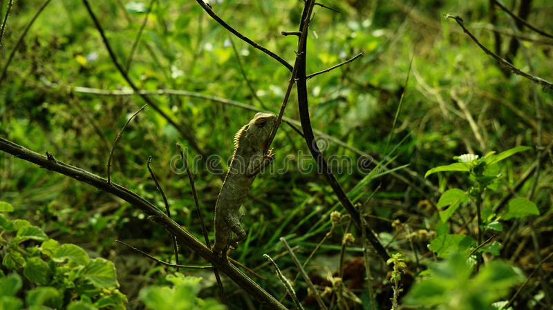 Download Chameleon stock photo. Image of insect, legged, long - 67356224