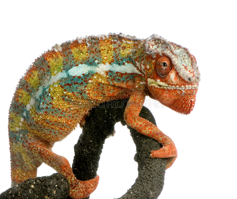 Download Chameleon Furcifer Pardalis Stock Photo - Image of dragoon, insectivore: 2313350