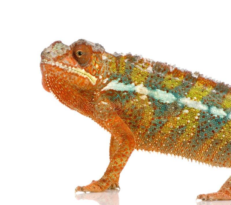 Download Chameleon Furcifer Pardalis Stock Photo - Image: 2313440