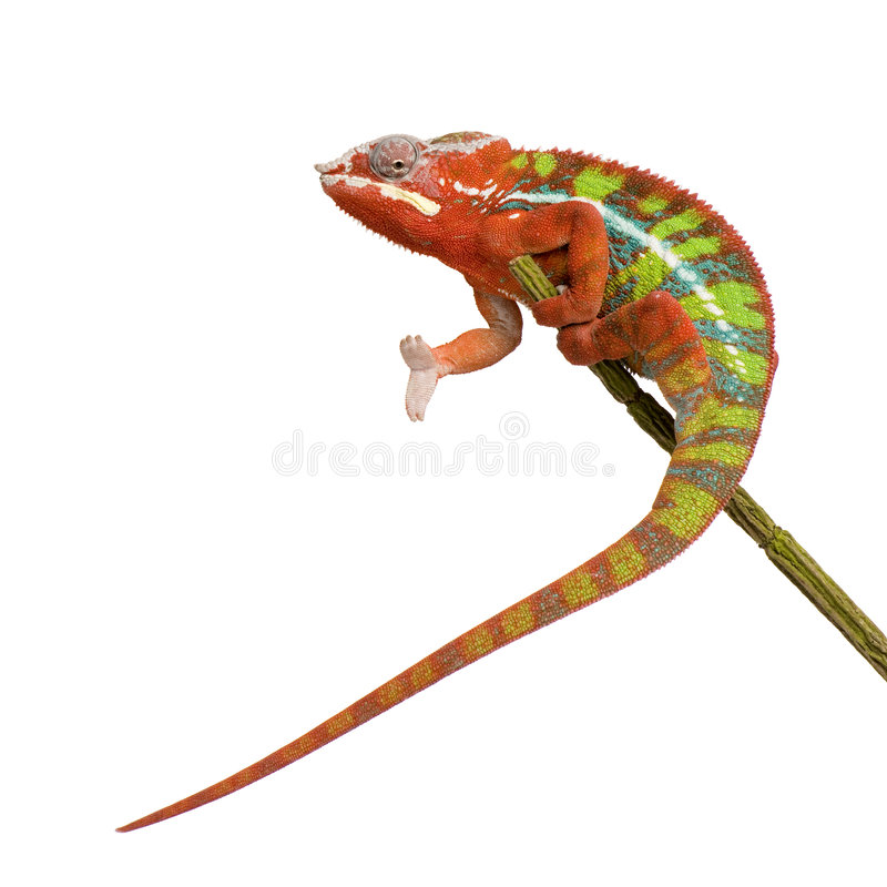 Free Chameleon Furcifer Pardalis - Ambilobe (18 Months) Stock Image - 5353861