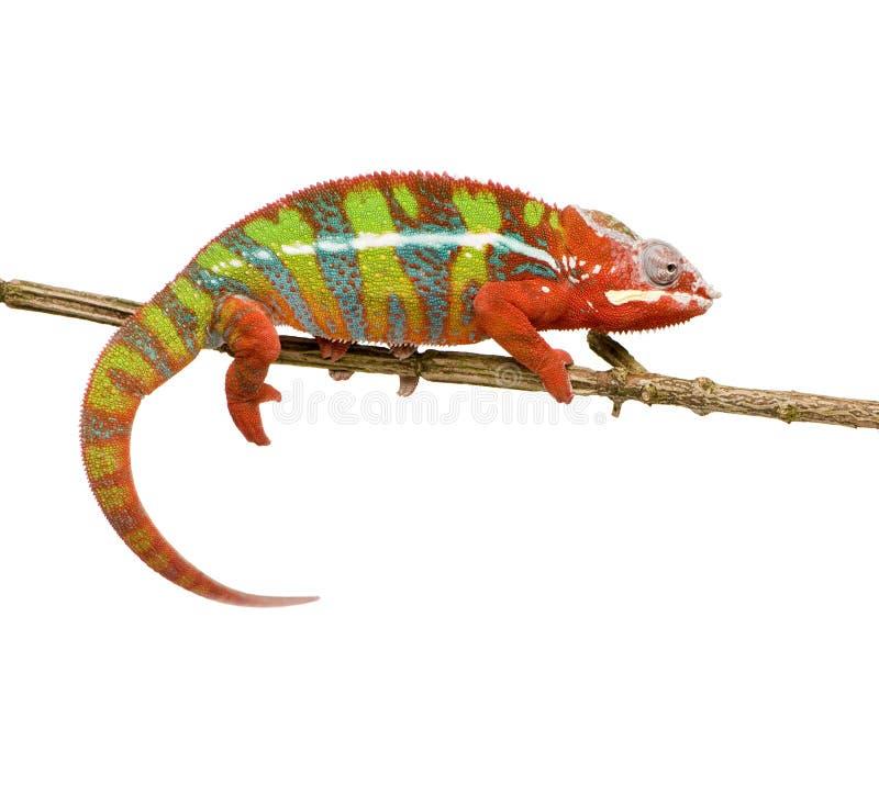Free Chameleon Furcifer Pardalis - Ambilobe (18 Months) Stock Photography - 5354012
