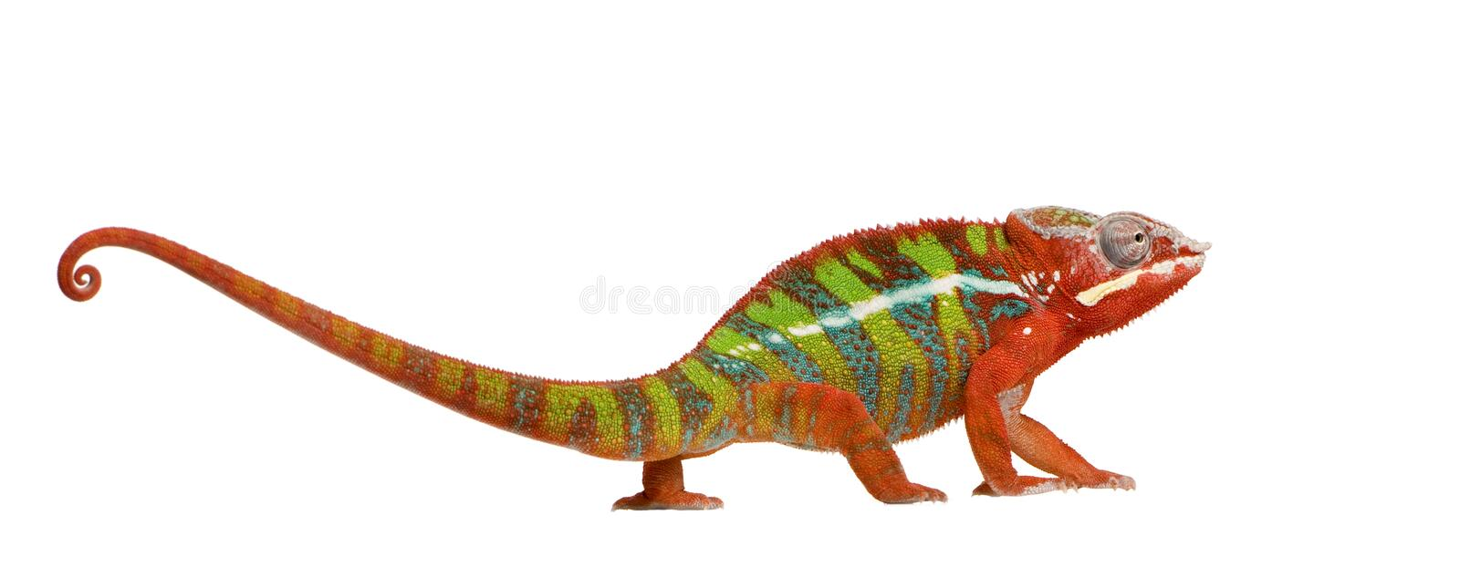 Chameleon Furcifer Pardalis - Ambilobe (18 months). In front of a white background royalty free stock images