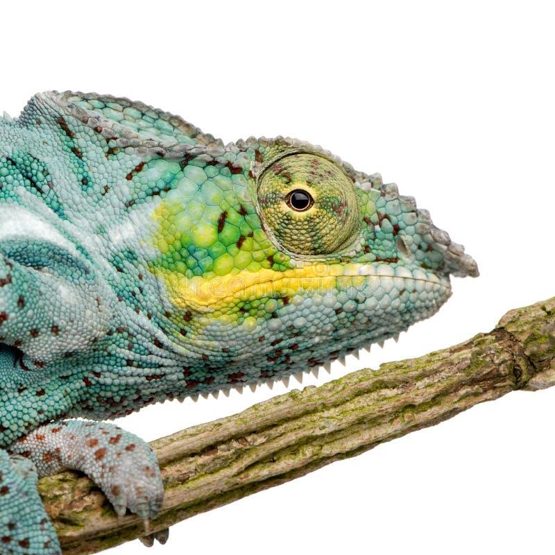 Download Chameleon Furcifer Pardalis - Nosy Faly Stock Photo - Image: 5355474