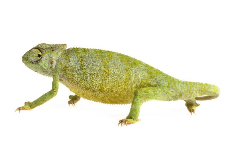 Chameleon gracioso fotografia de stock