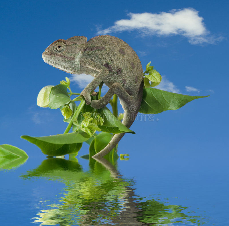 Chameleon on green branch. Chameleon on green branch on a background of the blue sky with a white cloud stock images