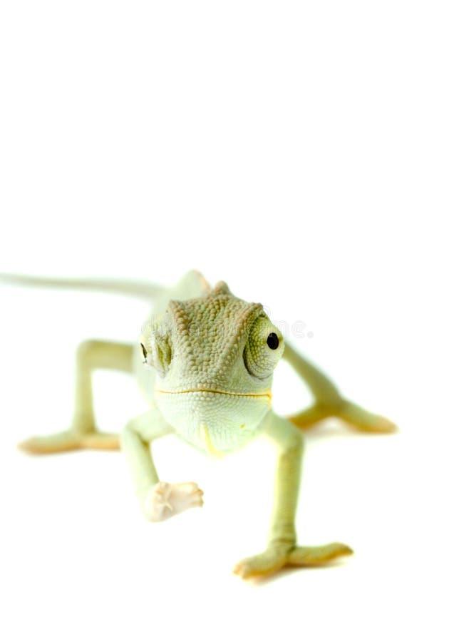 Chameleon. Isolação no branco foto de stock royalty free