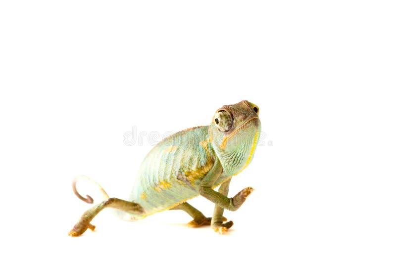 Chameleon. Isolação no branco fotografia de stock royalty free