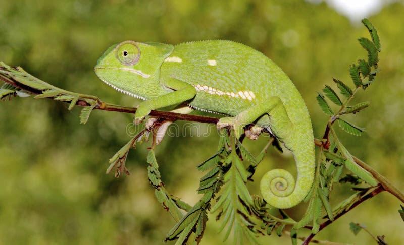 chameleon Liso-necked imagens de stock
