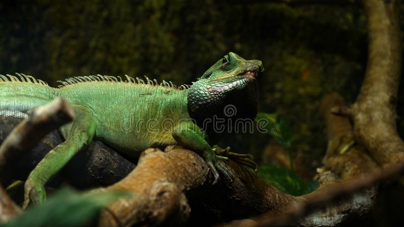 Chameleon Lizard , panther, catching insect, reptile, Chamaeleo using camouflage and walking. Concept of: Zoo, Wildlife, Hunter,. Chameleon  Lizard , panther stock photos