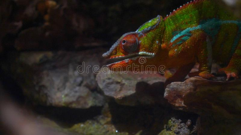 Chameleon Lizard , panther, catching insect, reptile, Chamaeleo using camouflage and walking. Concept of: Zoo, Wildlife, Hunter,. Chameleon  Lizard , panther royalty free stock image