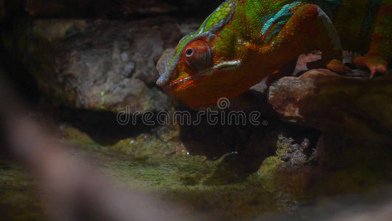 Chameleon Lizard , panther, catching insect, reptile, Chamaeleo using camouflage and walking. Concept of: Zoo, Wildlife, Hunter,. Chameleon  Lizard , panther stock photography