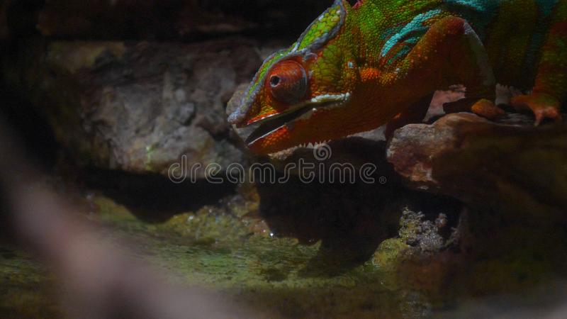 Chameleon Lizard , panther, catching insect, reptile, Chamaeleo using camouflage and walking. Concept of: Zoo, Wildlife, Hunter,. Chameleon  Lizard , panther royalty free stock photos