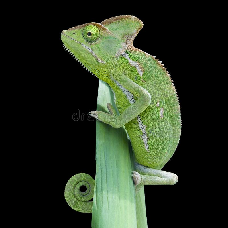 Chameleon lizard Reptile isolated background stock photos