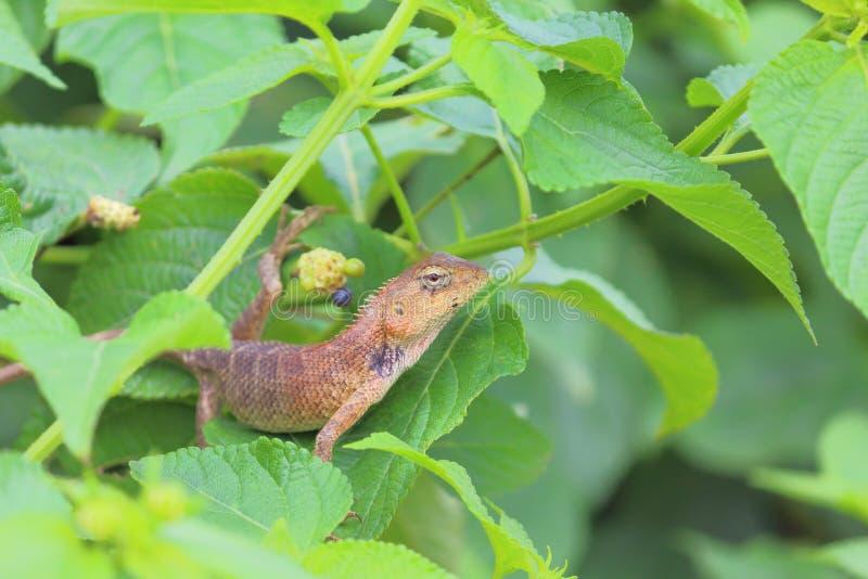 Chameleon animal stock images