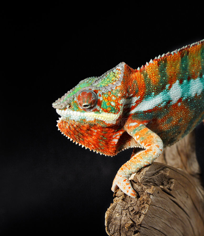Chameleon maschio variopinto fotografie stock