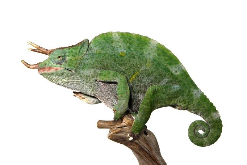Chameleon maschio variopinto immagini stock