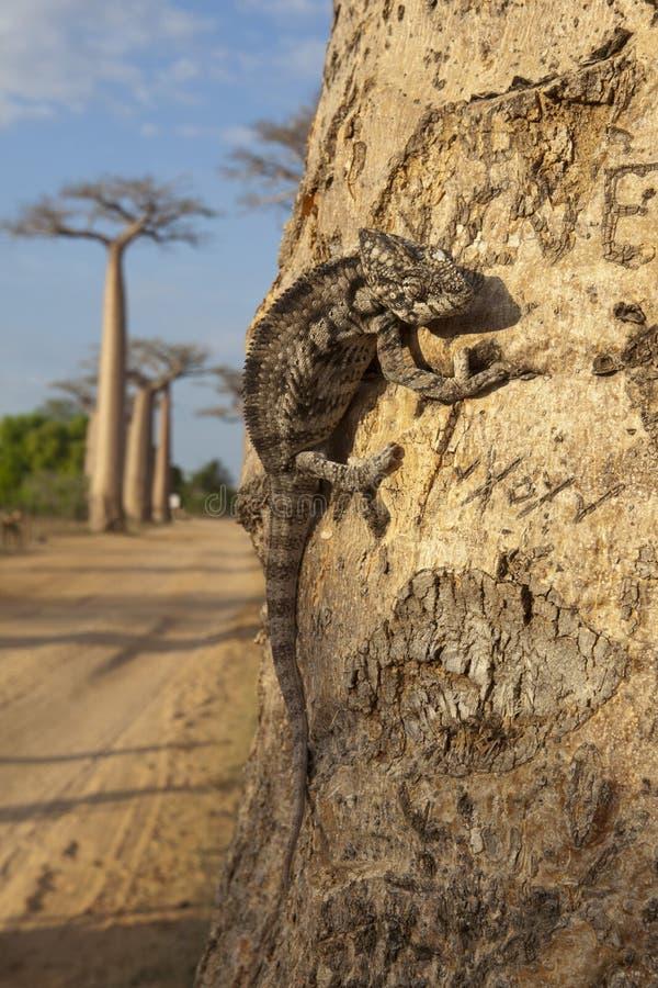 Chameleon na árvore do baobab imagem de stock
