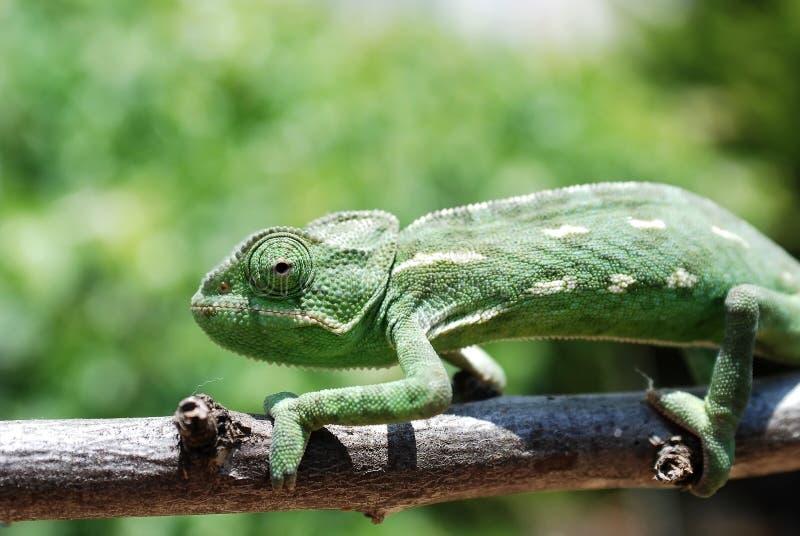 Chameleon na filial foto de stock