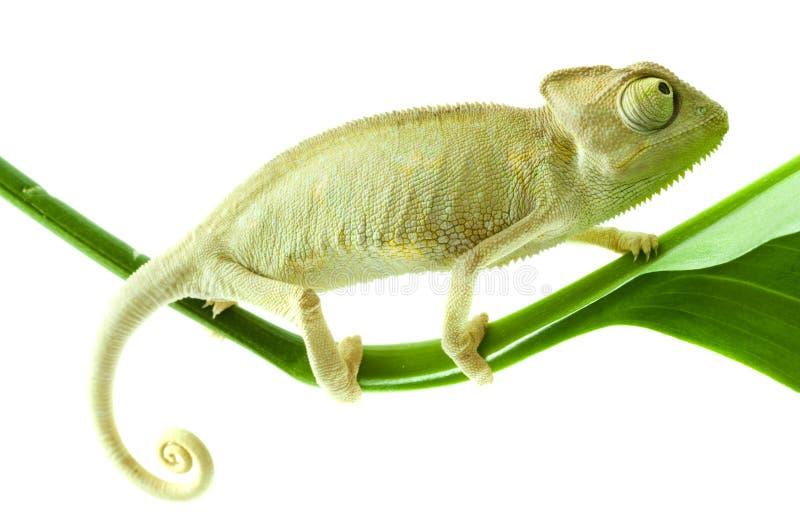Chameleon na flor. foto de stock