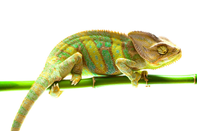 Chameleon na flor. fotografia de stock