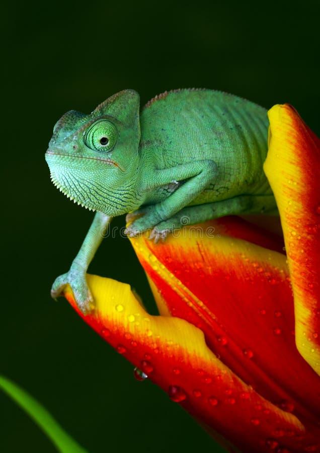 Chameleon no tulip fotografia de stock