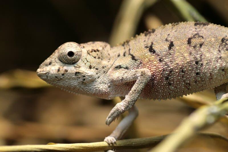 Chameleon novo fotografia de stock royalty free