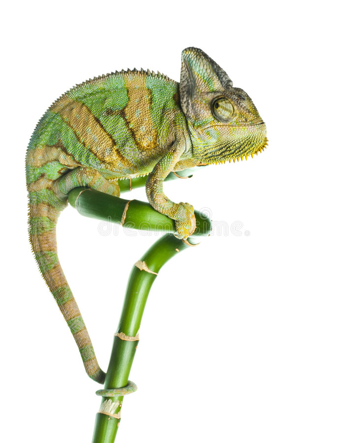 Free Chameleon On Bamboo Royalty Free Stock Images - 8100289